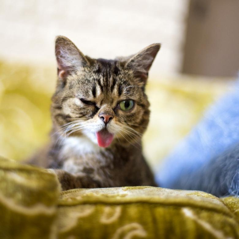 """> """"世界最可爱猫咪""""吐舌卖萌照"""